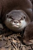 Small Clawed Otters Stock Images