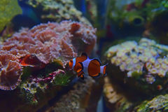 Small Clown fish swimming between two rocks in the background Royalty Free Stock Image