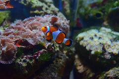 Small Clown fish swimming up with different corals in the background Stock Photo