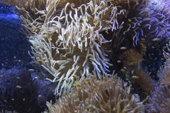 Small clown fishes in a giant anemone. In aquarium Royalty Free Stock Photo