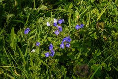 Germander Speedwell Stock Images