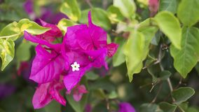 Small cluster of Bougainvillea spectabilis also known as Buganvilla plant. Horizontal shot of a small cluster of Bougainvillea spectabilis also known as royalty free stock photo