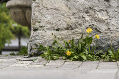 Small cluster of dandelion weeds. Growing against an old wall of a building on paving in a low angle view stock photo