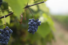 Small cluster of grapes hanging on vine in vineyard. Small cluster of grapes hanging from a branch in a vineyard with a blurry view of the rows fading into the Stock Photo