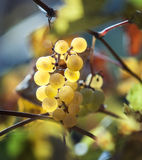 Small cluster of grapes at the sunlight. Royalty Free Stock Photography