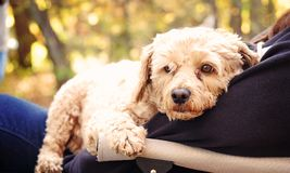 Small cockapoo dog on a person lap. A small cockapoo sitting on the lap of her owner outside in the fall Royalty Free Stock Images