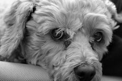 Small cockapoo dog on a mans legs, black and white Royalty Free Stock Photo