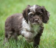 Small Cocker Spaniel puppy with ball. Cute Cocker Spaniel puppy being playful outside with orange ball in the grass Royalty Free Stock Photo