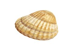 Small cockleshell Stock Images