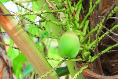 Small coconut on tree in garden select focus with shallow depth of field.  stock photo