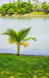 A small coconut tree. A small coconut tree in the park with river Royalty Free Stock Photography