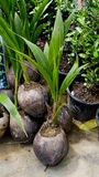 Small coconut tree ready to plant Royalty Free Stock Photography