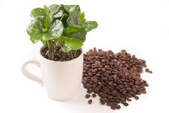 Small coffee plant in coffee cup and coffeebeans stock image