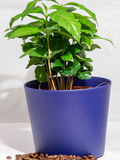 Small Coffee Tree A potted plant isolated on white Royalty Free Stock Photography