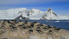 small colony of Adélie penguins in background of mountains and the ocean on the west coast of the Antarctic Peninsula stock video