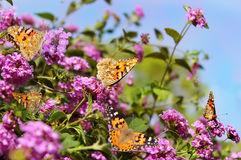Small colony of butterflies Royalty Free Stock Photo