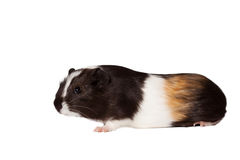 Small colored guinea pig Royalty Free Stock Photo