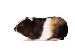 Small colored guinea pig Royalty Free Stock Images