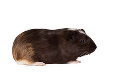 Small colored guinea pig Royalty Free Stock Photos