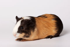 Small colored guinea pig Stock Images