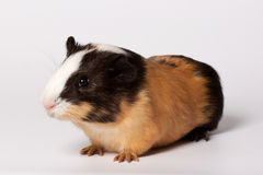 Small colored guinea pig Stock Photo