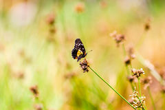 Small colorful butterfly. Sucking nectar from an almost dry flower Royalty Free Stock Photos