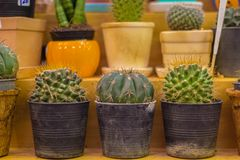 Small colorful cactus in container for planting. Royalty Free Stock Photo