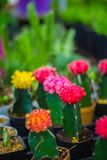 Small colorful cactus in container for planting. Stock Photos