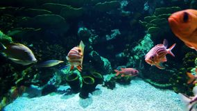 Small colorful fish of different species swim in aquarium. With sea plants and stones on background. underwater life, tropical fauna, ocean inhabitants stock video