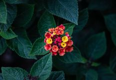 Small colorful flowers on green leaves. Small flowers of different colors centered in a circle in front of green pointy leaves royalty free stock images