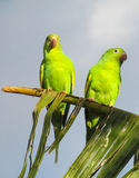 Small colorful green parrots stock photos