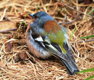 Small colorful New Zealand bird. Royalty Free Stock Images
