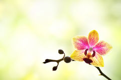 Small colorful orchid. On light blurred background royalty free stock photo