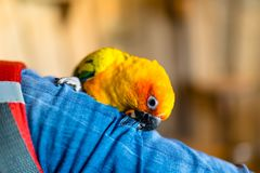 A small colorful parrot sits on the shoulder and beak a button. royalty free stock images