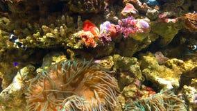 Small Colorful Sea Coral Fish In Aquarium. Small Colorful Deep Sea Coral Fish In Aquarium stock video