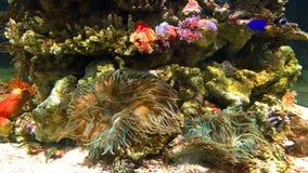 Small Colorful Sea Coral Fish In Aquarium stock video