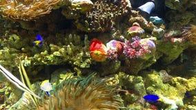 Small Colorful Sea Coral Fish In Aquarium. Small Colorful Deep Sea Coral Fish In Aquarium stock footage