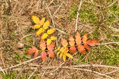 Small coloured bush in autumn, Germany Stock Photography