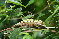 Small colourful chameleon Royalty Free Stock Photos