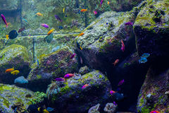 Small colourfull tropical fish in aquarium Stock Image