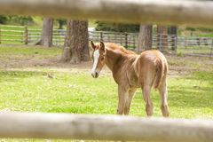 Small colt. Royalty Free Stock Photos