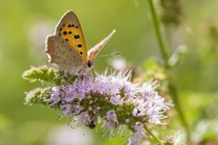 Small or common copper butterfly lycaena phlaeas closeup. Closeup of a small or common Copper butterfly, lycaena phlaeas, feeding nectar of white flowers in a Royalty Free Stock Photos