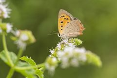Small or common copper butterfly lycaena phlaeas closeup. Closeup of a small or common Copper butterfly, lycaena phlaeas, feeding nectar of white flowers in a Stock Images