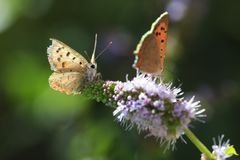 Small or common copper butterfly lycaena phlaeas closeup. Closeup of a small or common Copper butterfly, lycaena phlaeas, feeding nectar of white flowers in a Royalty Free Stock Photography