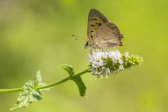 Small or common copper butterfly lycaena phlaeas closeup. Closeup of a small or common Copper butterfly, lycaena phlaeas, feeding nectar of white flowers in a Stock Photography