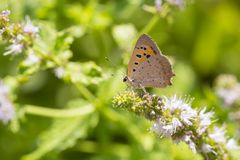 Small or common copper butterfly lycaena phlaeas closeup Royalty Free Stock Photos