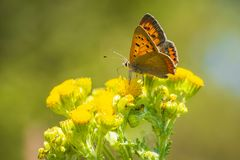 Small or common copper butterfly lycaena phlaeas closeup Stock Photography