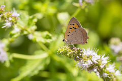 Small or common copper butterfly lycaena phlaeas closeup. Closeup of a small or common Copper butterfly, lycaena phlaeas, feeding nectar of white flowers in a Stock Photos