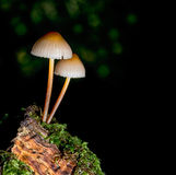 Small, common fungus. Mycena Polygramma,. Grooved bonnet toadstool, mushroom on moss Royalty Free Stock Photography