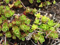 Small common houseleek. Sempervivum tectorum also known as common houseleek Stock Image